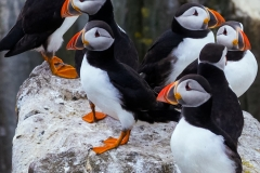 Puffins Family